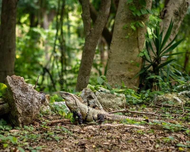 Dorosła iguana wygrzewa się w Meksykańskiej dżungli obrazy royalty free
