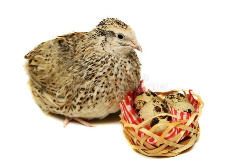 Dorosła przepiórka z swój jajkami na bielu zdjęcia stock
