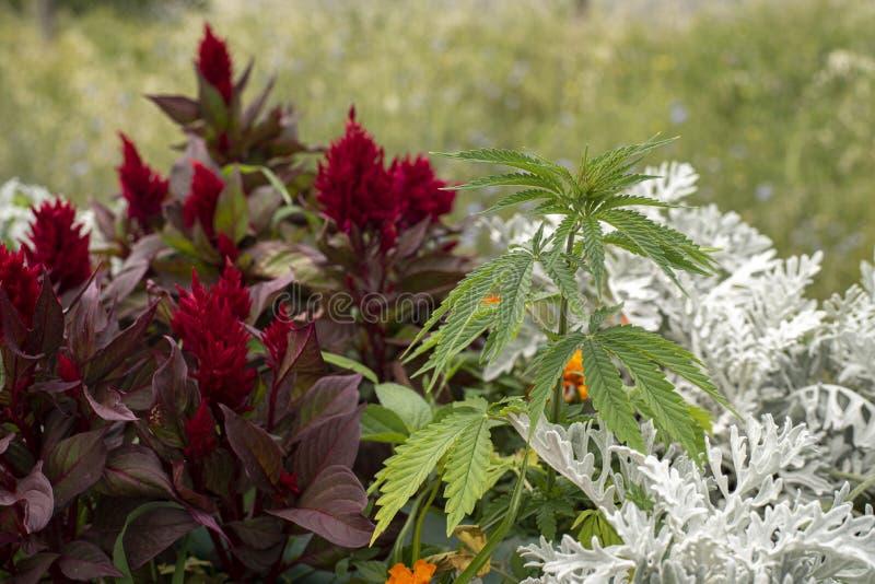 Dorosła roślina konopie na łóżku z roślinami i kwiatami obrazy royalty free