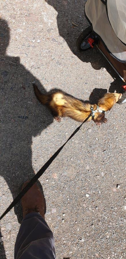 Dorosła sobolowa hob fretka dla za spacerze na jego prowadzeniu zdjęcia royalty free