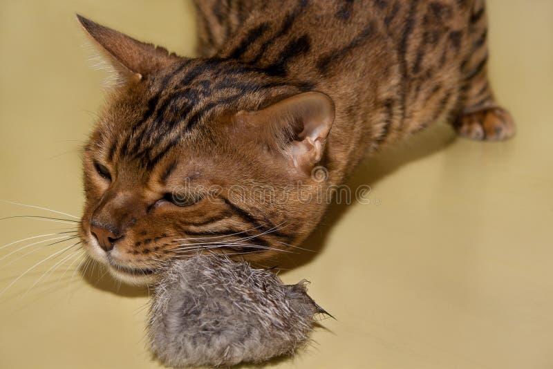 Dorosłego Bengal kota kursowanie z jego zabawką obraz stock
