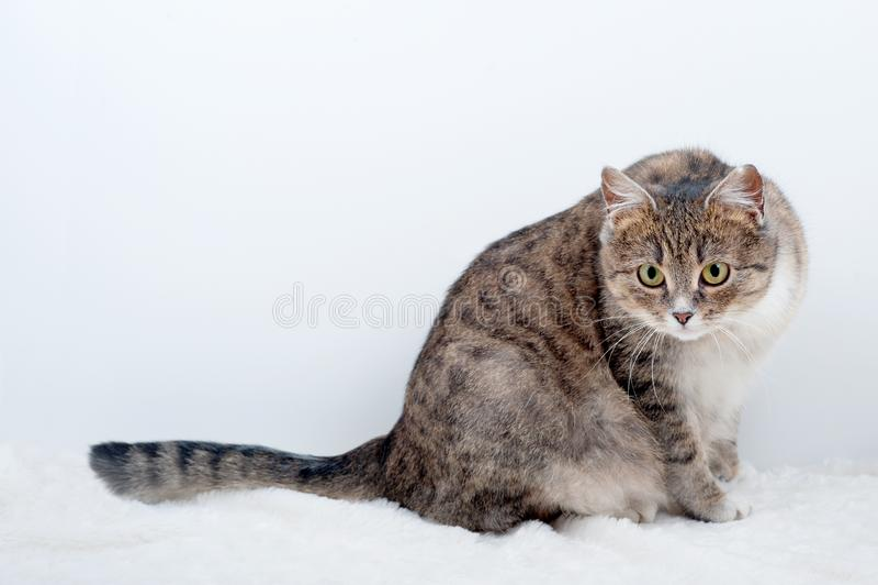 Dorosłego ciężarny domowy kot na lekkim tle obraz royalty free