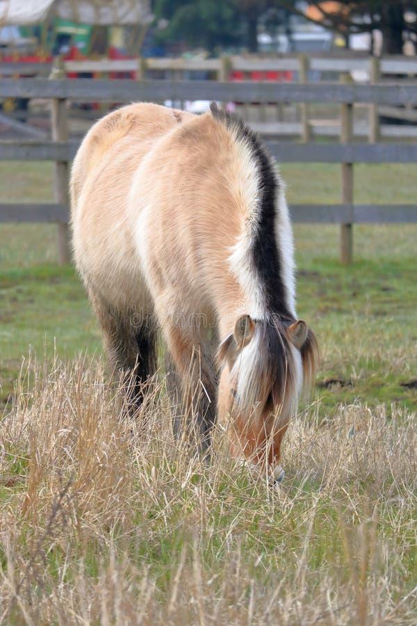 Dorosłego Dartmoor konik zdjęcie royalty free