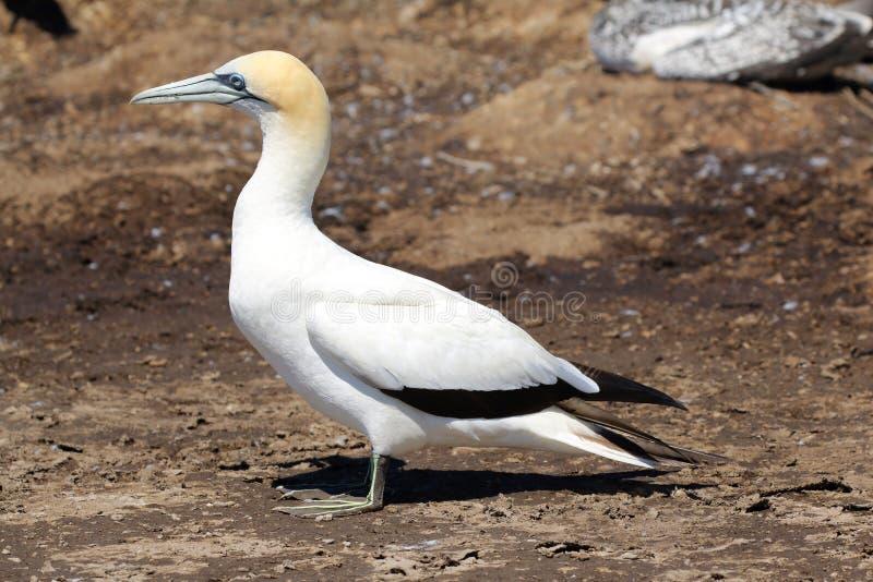 Dorosłego Gannet ptak zdjęcie royalty free