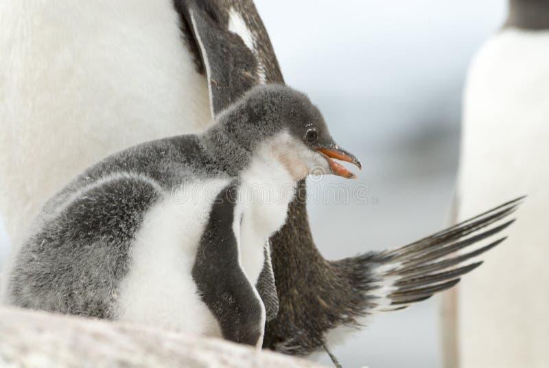 Dorosłego Gentoo pingwin z kurczątkiem fotografia stock