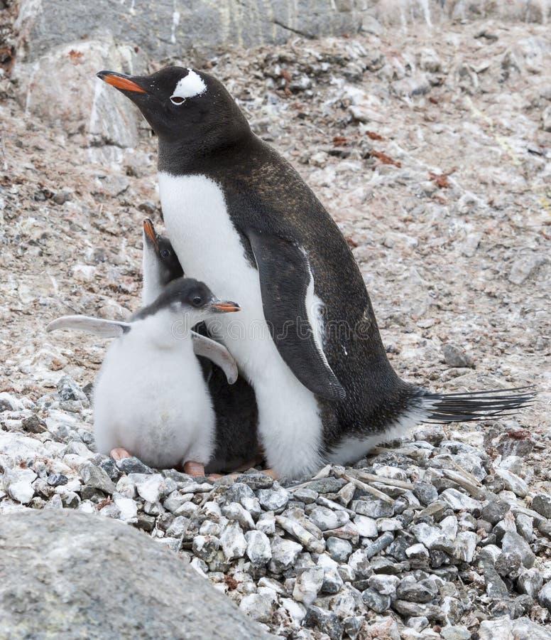 Dorosłego Gentoo pingwin z kurczątkiem obrazy royalty free