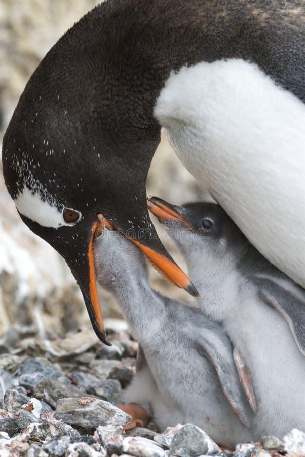 Dorosłego Gentoo pingwin z kurczątkiem zdjęcie stock