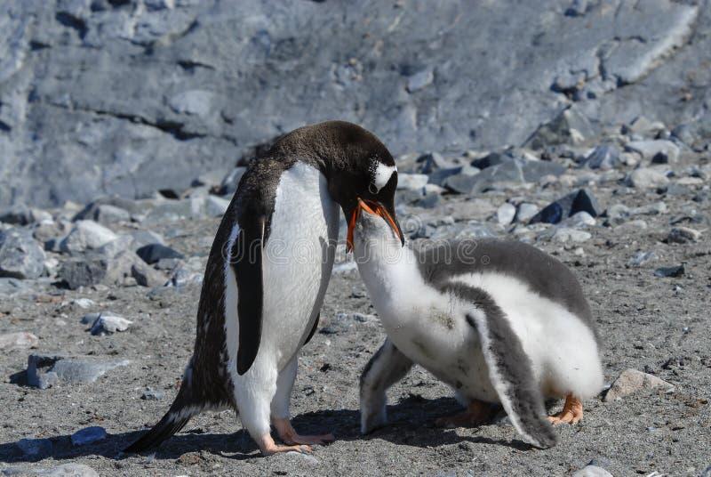 Dorosłego Gentoo pingwin z kurczątkiem zdjęcie royalty free