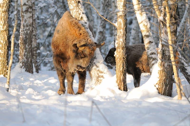 Dorosłego i dziecka Wisents w zimy brzozy lesie zdjęcia stock