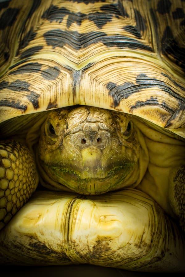 Dorosłego lamparta tortoise Stigmochelys pardalis zamykają up zdjęcia stock