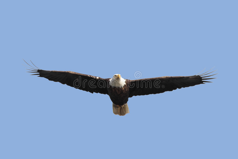 dorosły łysego orła haliaeetus leucocephalus zdjęcia stock