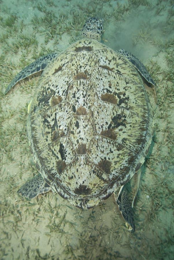 dorosły żywieniowy żeński zielony żółw obraz stock