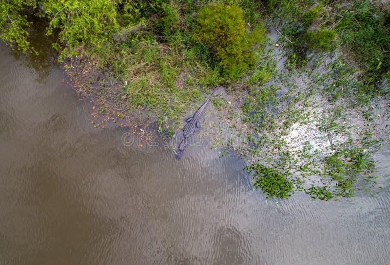 Dorosły Amerykański aligator zostaje ciepły zdjęcia royalty free