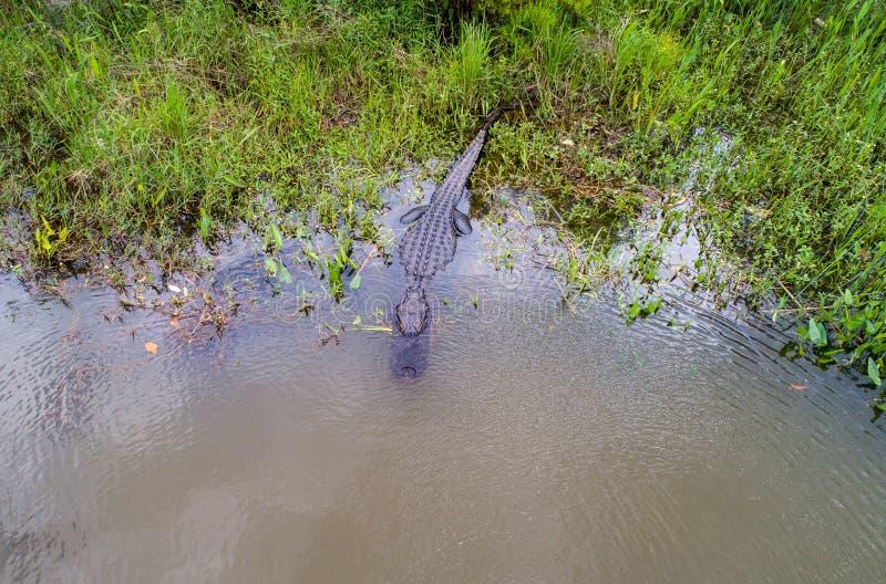 Dorosły Amerykański aligator zostaje ciepły obrazy stock