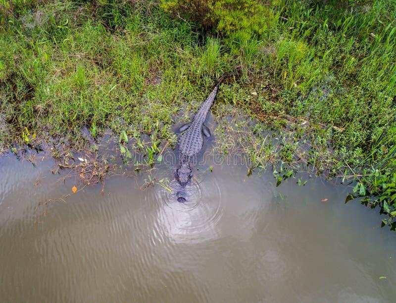 Dorosły Amerykański aligator zostaje ciepły obraz royalty free