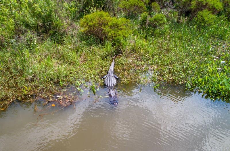 Dorosły Amerykański aligator zostaje ciepły fotografia stock