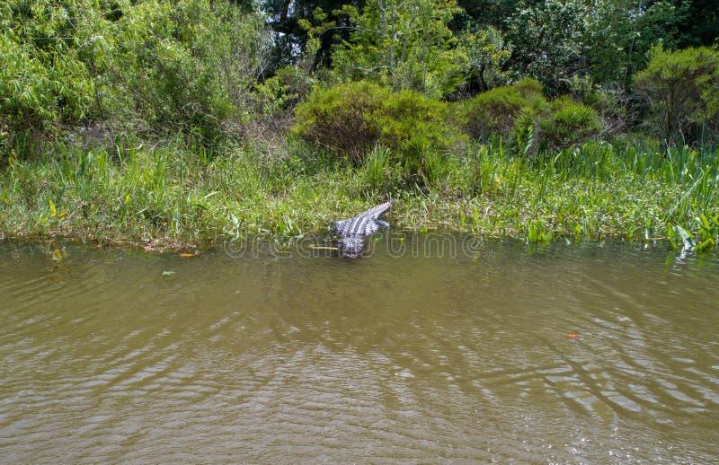 Dorosły Amerykański aligator zostaje ciepły zdjęcie royalty free