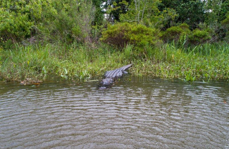 Dorosły Amerykański aligator zostaje ciepły obrazy royalty free
