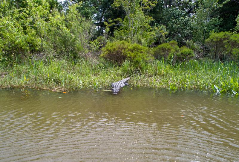 Dorosły Amerykański aligator zostaje ciepły obraz stock