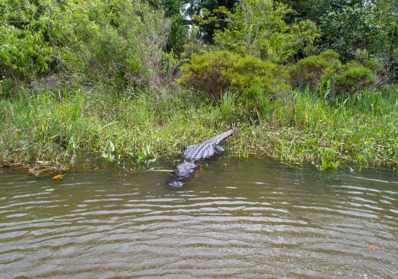Dorosły Amerykański aligator zostaje ciepły fotografia royalty free
