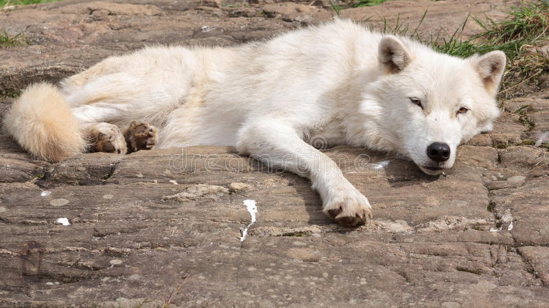 Dorosły Arktyczny wilk zdjęcie stock