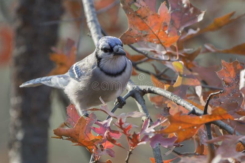 Dorosły Błękitnego Jay Cyanocitta cristata zdjęcie royalty free