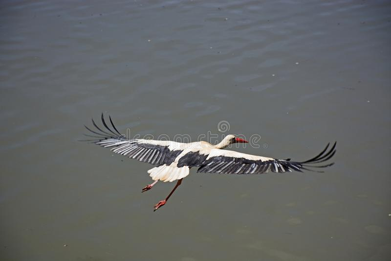 Dorosły bocianowy latanie nad rzeką, Silves, Portugalia zdjęcia royalty free