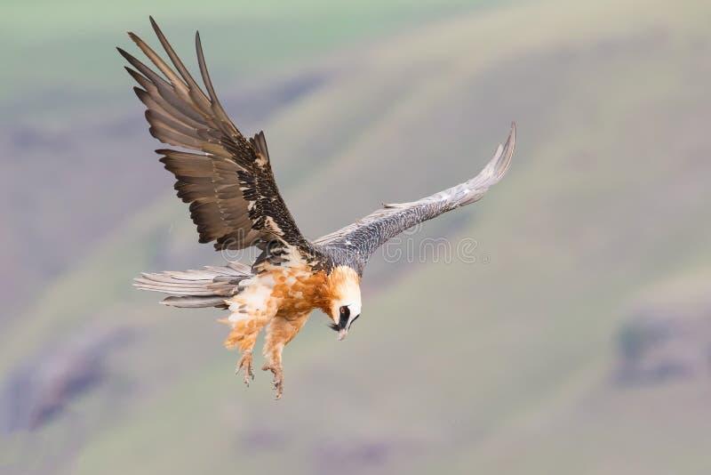 Dorosły brodatego sępa lądowanie na rockowym wypuscie dokąd kości są avai fotografia stock