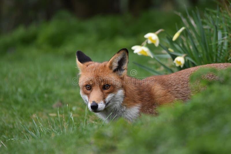 Dorosły Czerwony Brytyjski lis zdjęcia stock