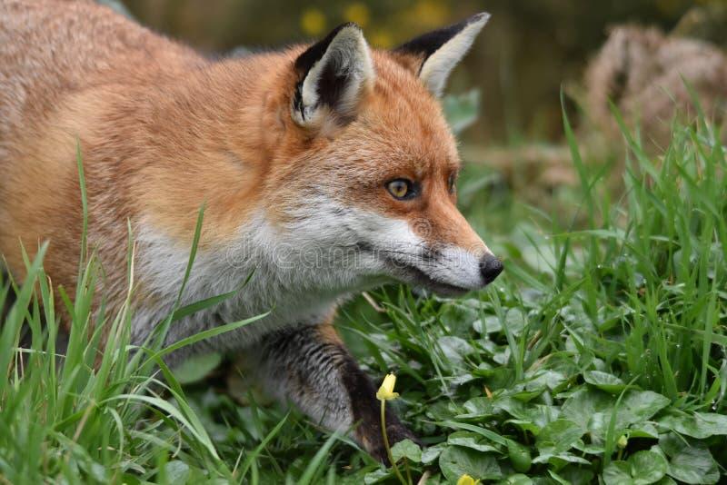 Dorosły Czerwony Brytyjski lis fotografia stock