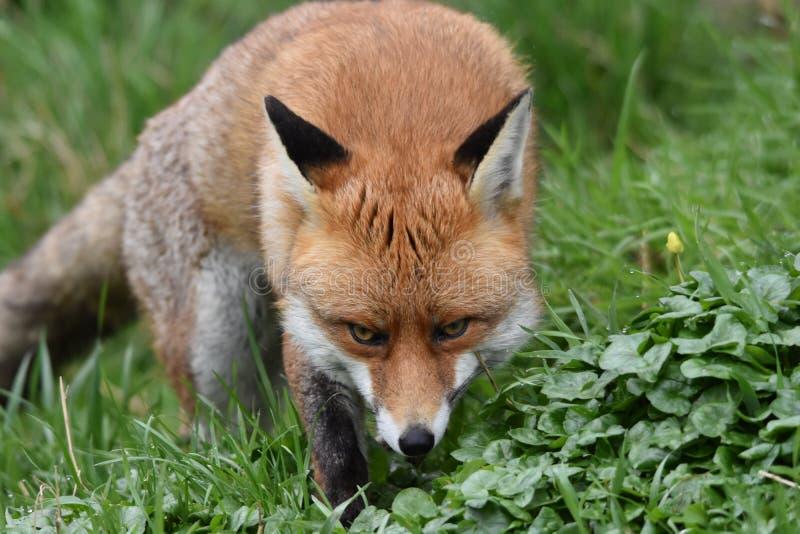 Dorosły Czerwony Brytyjski lis obrazy stock