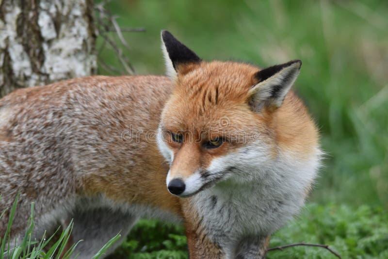 Dorosły Czerwony Brytyjski lis zdjęcie royalty free