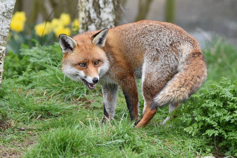 Dorosły Czerwony Brytyjski lis zdjęcie stock
