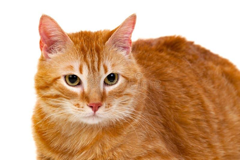 Dorosły czerwony kot z nadważy fotografia stock
