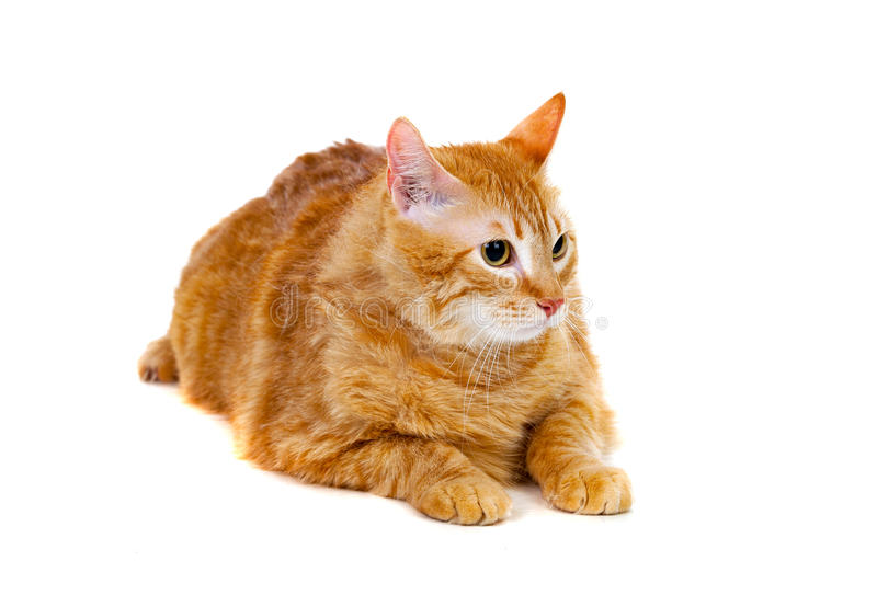 Dorosły czerwony kot z nadważy obrazy stock