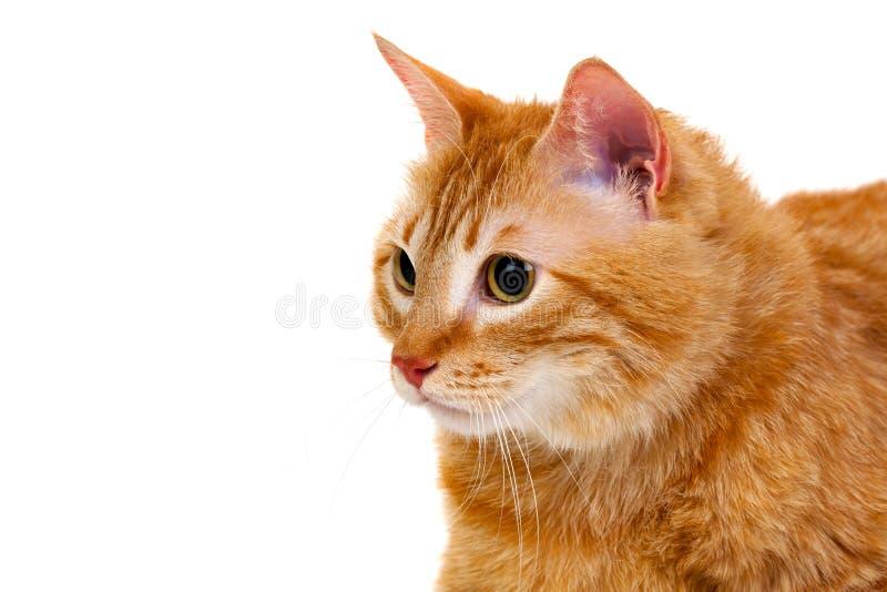 Dorosły czerwony kot z nadważy zdjęcia royalty free