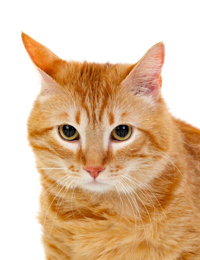 Dorosły czerwony kot z nadważy zdjęcie stock