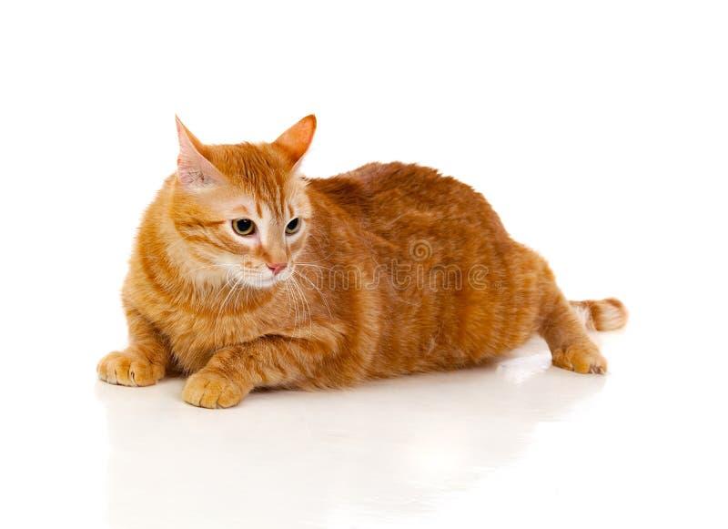 Dorosły czerwony kot z nadważy obraz royalty free