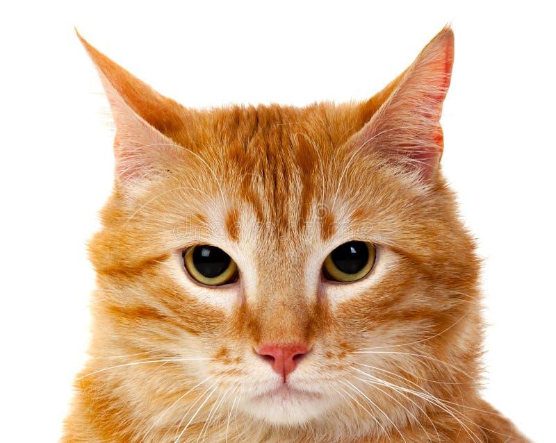 Dorosły czerwony kot z nadważy obraz stock