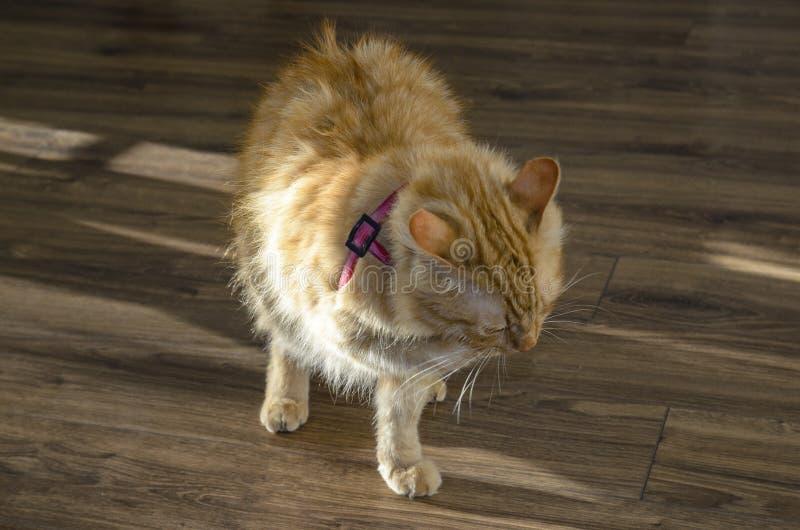 Dorosły duży czerwony kot kot jest bardzo bolesnym frontowym łapą, nabrzmiewająca łapa przez węża kąska zdjęcia royalty free