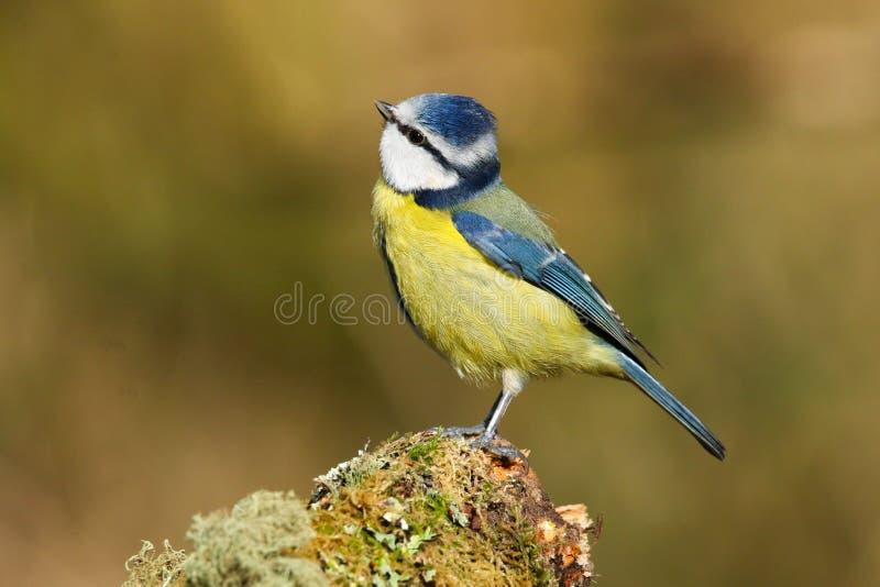 Dorosły Eurazjatycki Błękitnego Tit Cyanistes ptasi caeruleus zdjęcia royalty free
