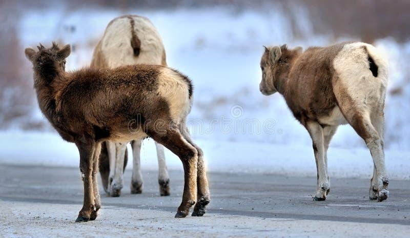 Dorosły i dwa bighorns offsprings Zima w Skalistych górach zdjęcia royalty free