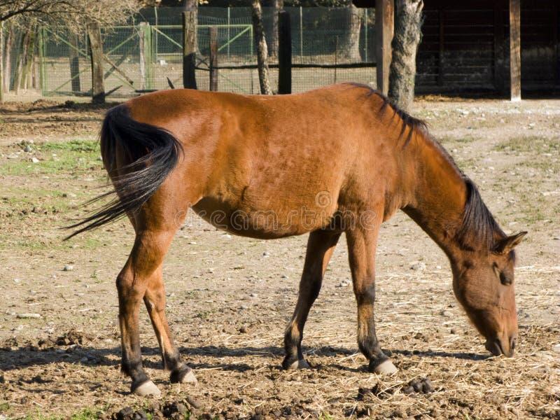 Dorosły koń