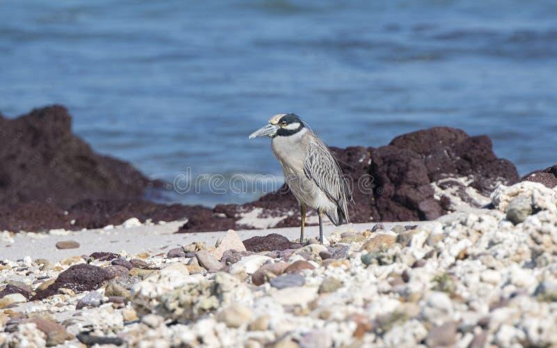 Dorosły Koronująca czapli Nyctanassa violacea pozycja na Skalistej plaży fotografia stock