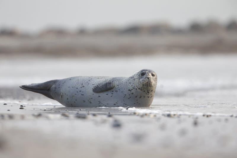 Dorosły popielaty foki Halichoerus grypus kłaść na plaży Heligoland- ampuły popielata foka Kłaść częsciowo w wodzie fotografia royalty free