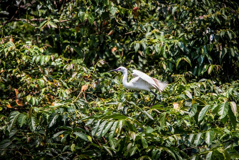 Dorosły ptasi biały Egretta Garzetta na drzewie Mały egret przy Parkowym Taipei miastem obraz stock