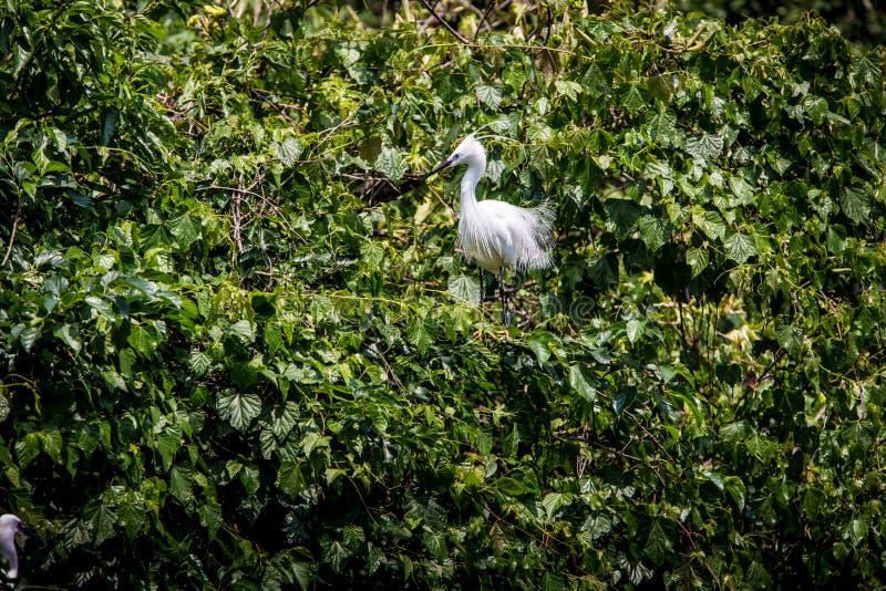 Dorosły ptasi biały Egretta Garzetta na drzewie Mały egret przy Parkowym Taipei miastem obraz royalty free
