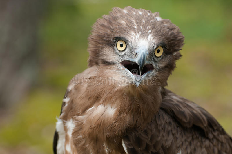 Dorosły Stający węża orła portret fotografia stock