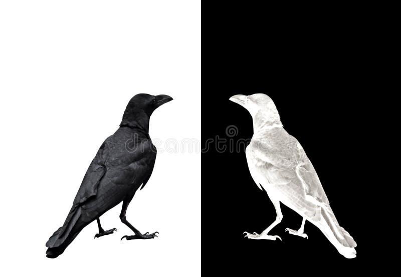 Dorosły wrona Odizolowywająca na tle, obrazka pojęcie fotografia stock