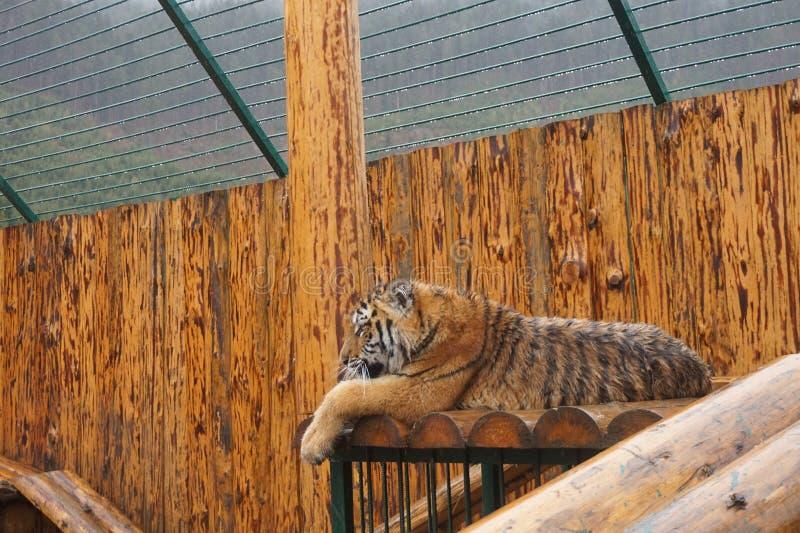 Doros?y pi?kny m?ody tygrys chodzi w klatce przy zoo fotografia royalty free